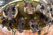 Mounted warthog heads
