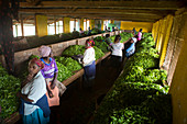 Workers with harvested tea, Kenya