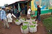 Workers with harvested tea, Kenya