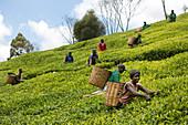 Harvesting tea, Kenya