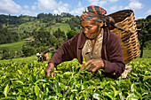 Harvesting tea, Kenya