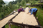 Drying raw coffee beans, Kenya