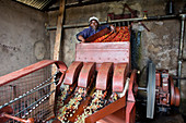 Coffee cherry processing, Kenya