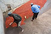 Drying coffee cherries, Kenya