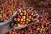 Harvested coffee cherries, Kenya