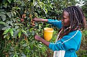 Harvesting coffee, Kenya