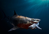 Megalodon prehistoric shark with prey, illustration