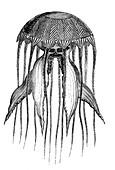 Compass jellyfish, 19th century illustration