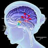 Melatonin secretion, illustration