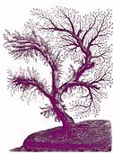 Tree hydroid, 19th century illustration
