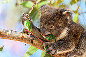 Young koala feeding