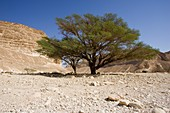 Umbrella thorn acacia (Vachellia tortilis) tree