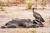 Vultures feed on dead elephant