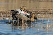 Golden jackal eating a common crane