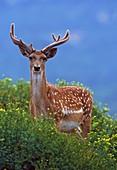 Male Mesopotamian fallow deer