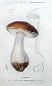 Boletus mushroom, illustration