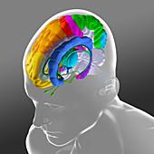 Brain anatomy, illustration