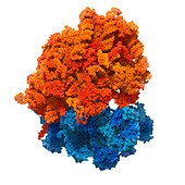 Human ribosome, illustration