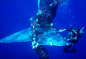 Sperm whale caught in fishing net