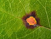 Rose rust on the upper side of a rose leaf