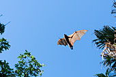 Black flying fox in flight