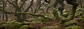 Ancient oaks (Quercus robur)