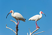 White ibis perched on a dead tree