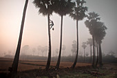 Palm tree farmer climbing tree, Myanmar