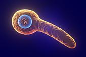Tetanus bacterium, illustration