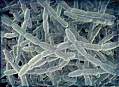 Legionella pneumophila bacteria, illustration