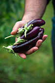 Man holds freshly harvested finger eggplants in his hand