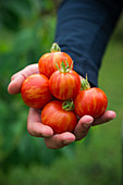 Man holds freshly harvested 'Tigerella' tomatoes in his hand