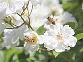 Bienen an den Blüten der Beetrose 'Bienenweide'