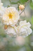 Halbgefüllte weiße Ramblerrose 'Ghislaine de Feligonde'