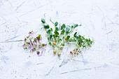 Sprossen und Microgreens