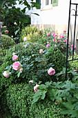 Buchs und Rose 'Eden Rose 85'