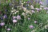 Wildblumenbeet:  weiße Lichtnelke, Wiesen-Flockenblume und Wiesensalbei