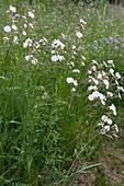 Weiße Lichtnelke auch bekannt als weißes Leimkraut oder breitblättrige Lichtnelke