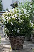 Weißer Oleander 'Soeur Agnes' im Korb