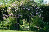 Ramblerrose 'Kirschrose' am Rosenbogen und Kandelaber-Ehrenpreis im Beet mit Buchs-Hecke als Beeteinfassung