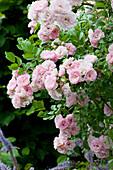 Ramblerrose 'Kirschrose'