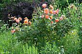 Rose 'Westerland' im Naturgarten