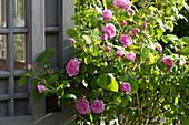 Rose 'Comte de Chambord' am Teehaus