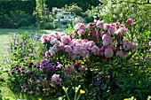 Frühsommerbeet mit Rhododendron 'Silberwolke', Zierlauch, Hornveilchen, Akelei und Funkie