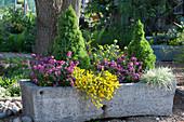 Großer Steintrog mit Goldlack, Steinginster, Zuckerhutfichten und Honiggras bepflanzt