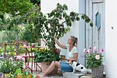 Sauerkirsche 'Maynard' im Kübel, unterpflanzt mit Zweizahn und Veilchen, Frau pflückt Kirschen, Hund Zula
