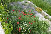 Blumenwiese als Insektenweide: Borretsch, gelber Wau, Klatschmohn und Margeriten
