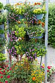 Vertikal gärtnern: Kästen mit Gold-Oregano, Nelken, Tagetes, Zierpaprika, Tomaten, Thymian mit Bewässerungsschläuchen an Rankgitter befestigt
