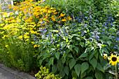 Sommer-Beet mit Salbei-Hybride Rockin 'Sky Blue' und Mädchenauge 'Grandiflora' 'El Dorado'