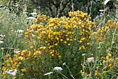 Wildblumenbeet mit echtem Johanniskraut